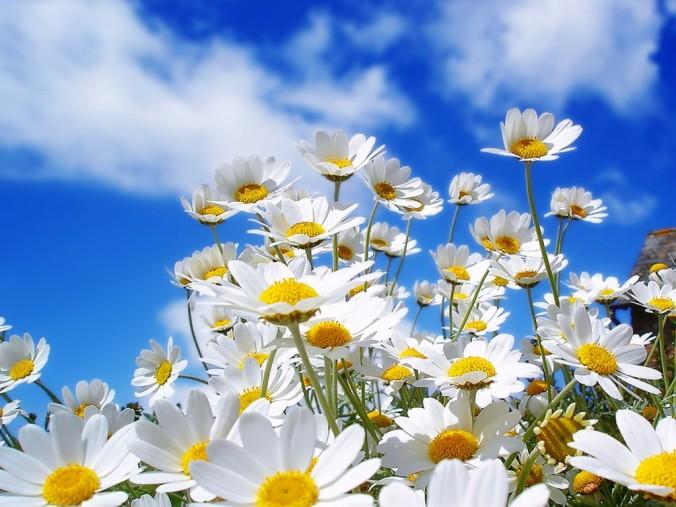flores_margaritas